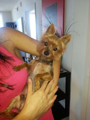 Toby The Tiny Yorkie Miami Natural Pet Care
